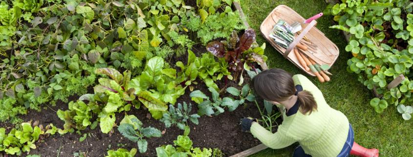 Frau gärtnert an einem Beet, in dem Salate wachsen